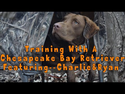 Chesapeake Bay Retriever Dog Training
