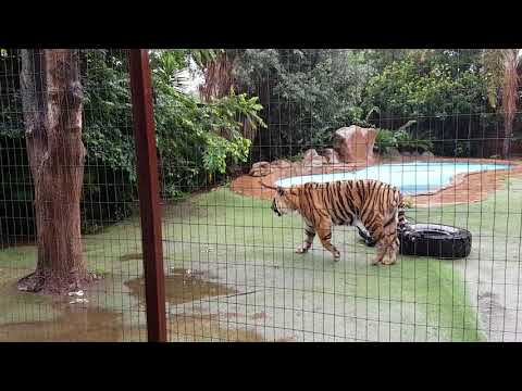 Tigers in the rain and where to defrost their food in !