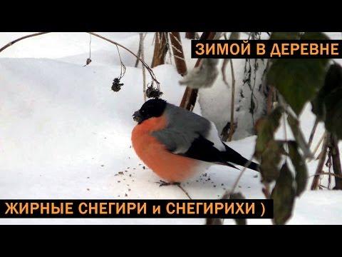 Снегири (крупным планом) - видео под музыку
