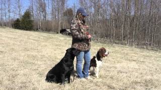 Labrador Retriever Training Six