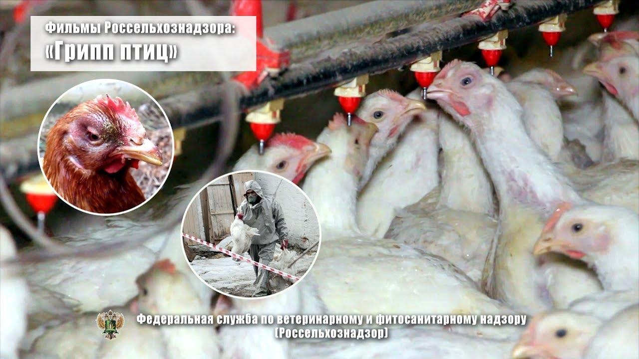 птичий грипп лечение