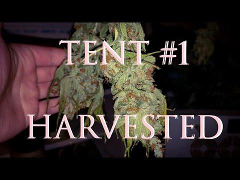 Tent #1 Harvested – Indoor Grow Update – 9-16-18