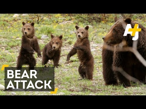 Yellowstone Hiker Victim Of Bear Attack