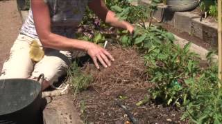 How to Mulch Tomatoes With Pine Straw