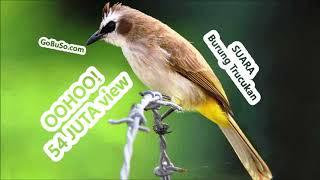 MASTERAN! Suara Burung Trucukan Gacor Pikat Mp3 | Pycnonotus Goiavier