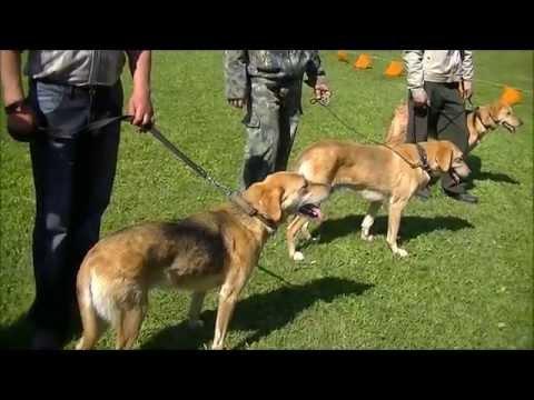 Ивановская выставка охотничьих собак 2013г . Ринги - русских гончих .
