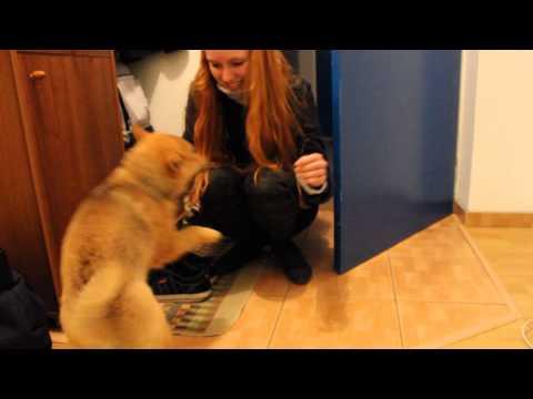 Cute Shiba inu puppy home welcoming