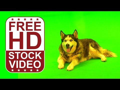 FREE HD video backgrounds – Husky dog sitting, lying on green screen, Free RAW footage