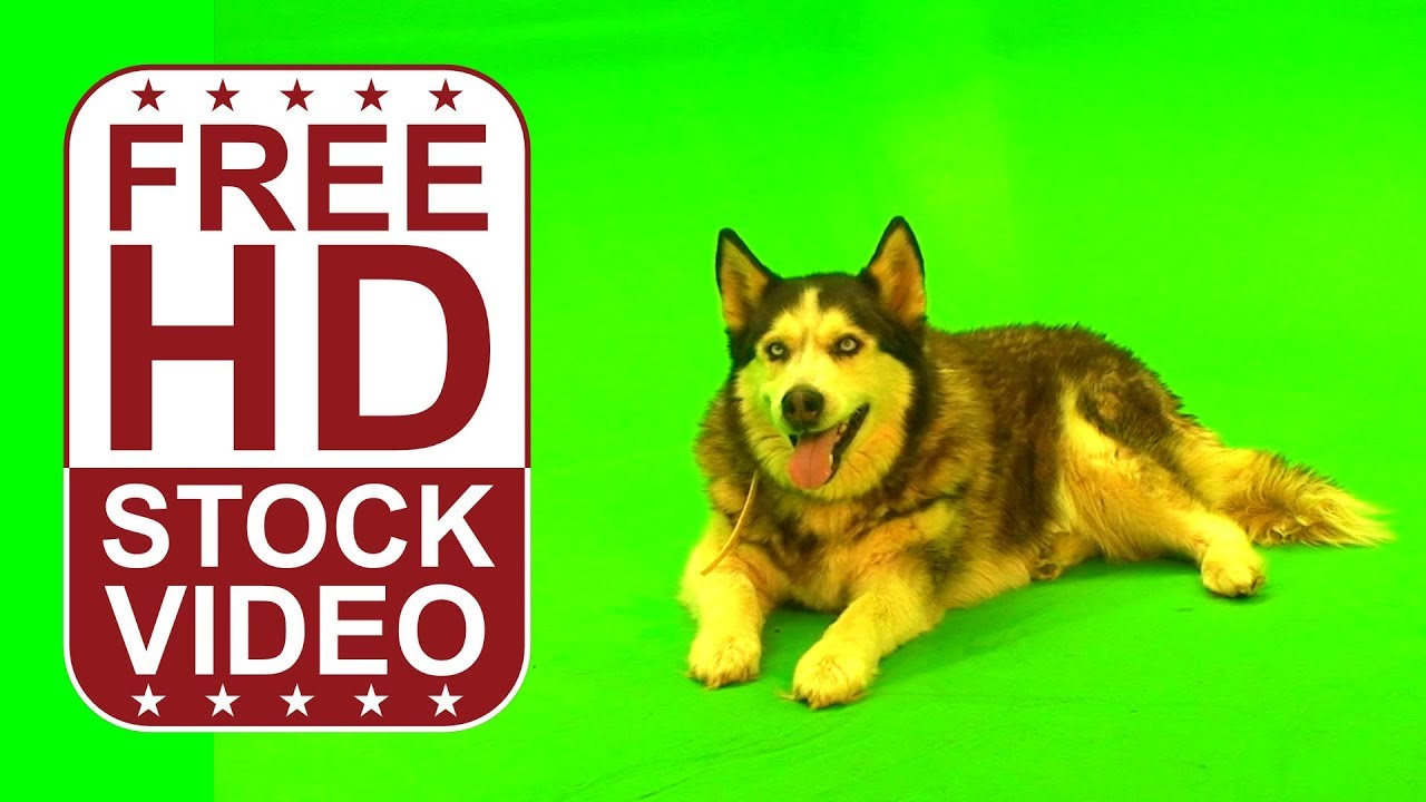 Free hd video backgrounds husky dog sitting lying on green screen free hd video backgrounds husky dog sitting lying on green screen free raw footage youtube voltagebd Gallery