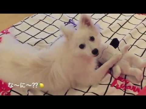 Japanese Spitz 日本スピッツレモン🍋<スヌーピー大好き>もふもふ犬japanesespitz