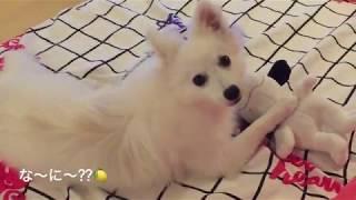 わたちレモン  <スヌーピー大好き> 犬種は日本スピッツ Japanese Spit...