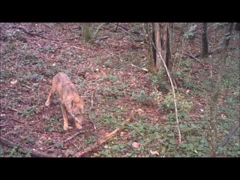 I lupi dell'Alta Valle dell'Esino (Marche-Italy) wolf - canis lupus