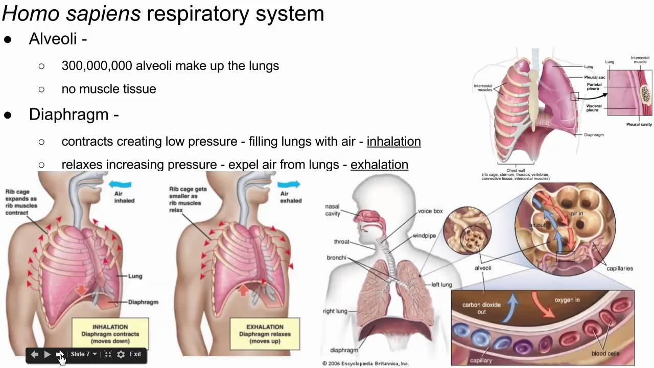 external respiration in humans