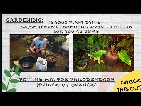 Potting Mix Philodendron |  Prince of Orange | Is your plant dying | Gardenserye | Rz bitsandpieces