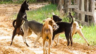 Amazing Group Dog Mating With Free Happy Love in Summer Time and Challenge !!