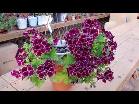 Gearaium regals aristo black beauty