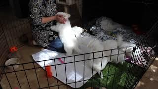 Coton de Tulear Puppies For Sale - Emma 1/14/19
