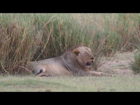 PC299111   Leeuwen Amboseli NP