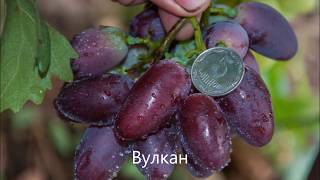 Виноград Калугина В М каталог Яцуна В Н 2018