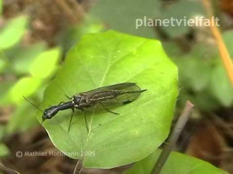 Kamelhalsfliege Rhaphdia spec., Snakefly