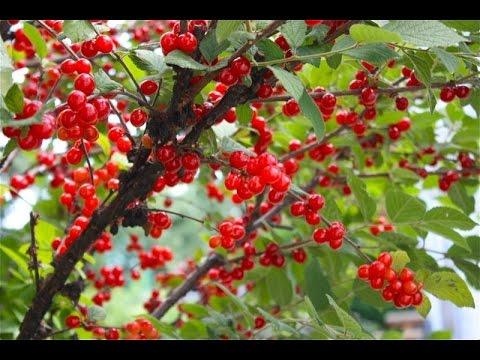 Green Living  -  Nanking dwarf Cherry Fruit Shrub