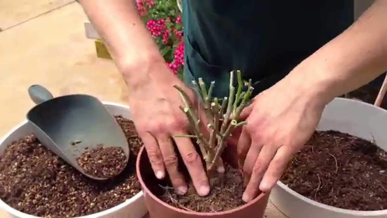 が 落ちる 葉 ポインセチア