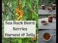 Sea Buckthorn harvest and Jam recipe Tutorial