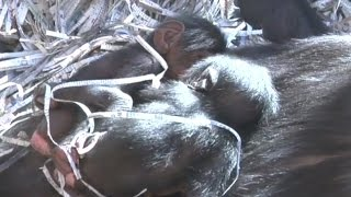 Download Video ABQ BioPark Zoo welcomes twin chimpanzees MP3 3GP MP4