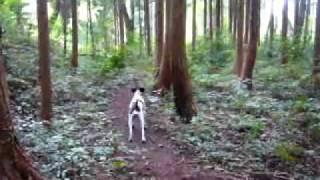 仲良し2匹は 散歩の途中 杉林でじゃれ合っていたが、飼い主がいない事に...