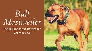 Bull Mastweiler | The Bullmastiff & Rottweiler Cross Breed