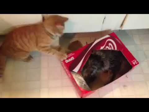 Had to share my cats fighting in a coke box lol