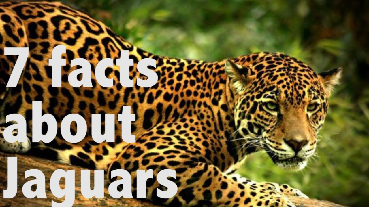 Good 7 Facts About Jaguars