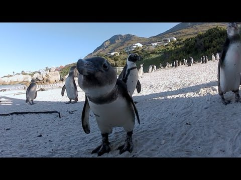 African Penguins At Boulders Beach Cape Town