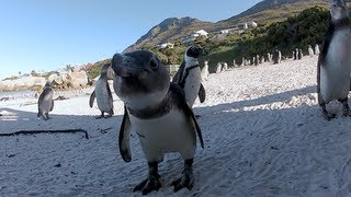 African Penguins at Boulders Beach, Cape Town - All Packages