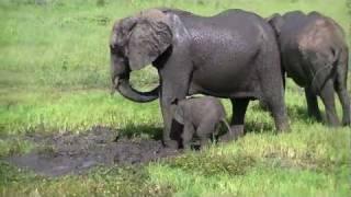 Chobe słonie