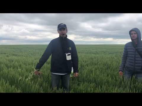 30.05.2020 день поля. Часть 3. Сравнение сортов пшеницы и ячменя!