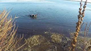 Канадская охота на гуся с английским спаниелем