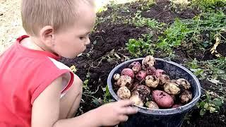 Копаю картошку, убираю помидоры @Жизнь в деревне. @В деревеньке под утесом @ДОМВДЕРЕВНЕ @Штукенция