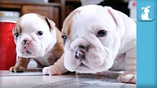Wrinkly Bulldog Puppy Parties TOO HARD! SO DARN CUTE! - Puppy Love
