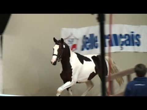 ♥ Troubadour D'Aurel- Jumping Horse  By Aiglon Rouge