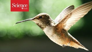 What makes hummingbirds such agile flyers?