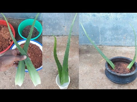 How to grow aloe vera from leaf