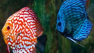Топ 5 самых красивых аквариумных рыбок.