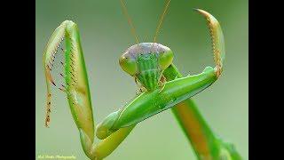 Зачем самка богомола съедает самца после спаривания