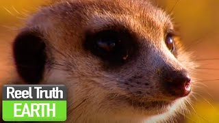Birth of the Meerkat Pups | Ella: A Meerkat's Tale (BBC) | Nature Documentary | Reel Truth Earth