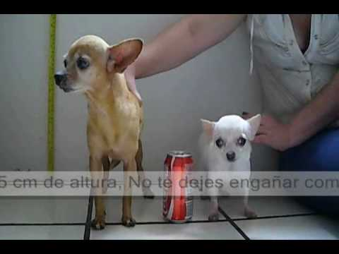 Regular Chihuahua vs Teacup Chihuahua Full grown ! ... The Fall of a myth