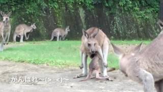 まだ生まれたばかりの 赤ちゃんカンガルー... お母さんのお腹の袋に入ろ...