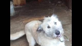 Ищет дом молодая Собака. Собака компаньон. Возраст около 1,5 лет. Стерильна.