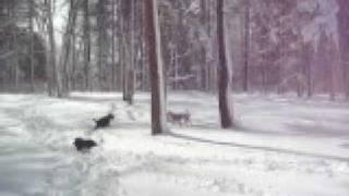 雪国犬!北海道犬だって、足長犬!サルーキだって、新雪の中で走るのは...