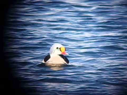 King Eider - Somateria spectabilis - Batsfjord - April 2015 - Slowmotion